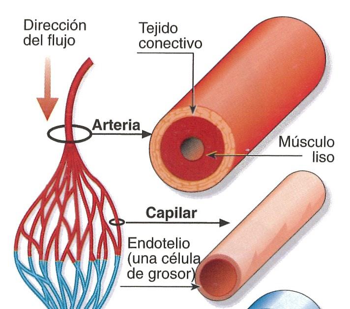 Biometria Hematica: Arterias, Venas & Capilares