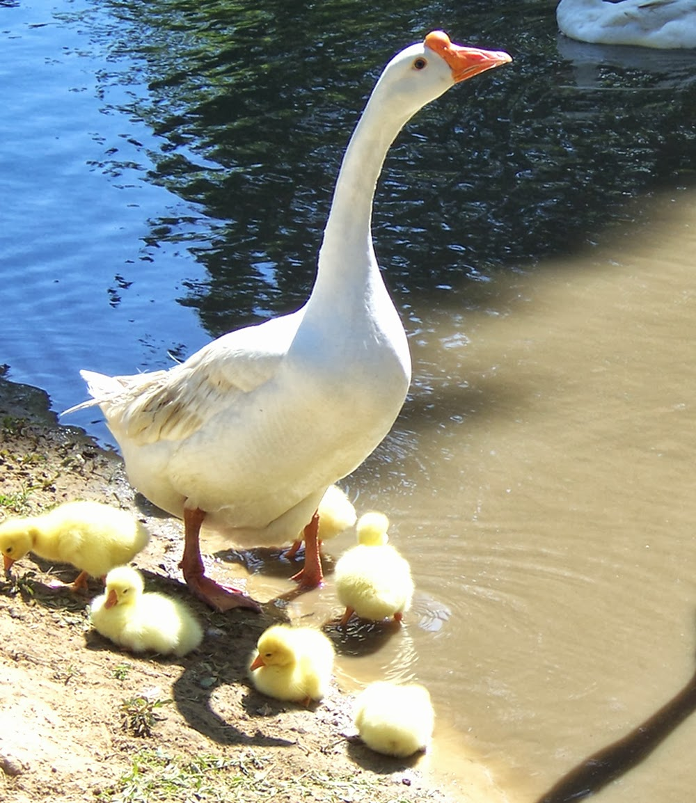 geese, Chinese geese, laying geese, geese breeds, laying geese breeds, best egg laying geese breeds