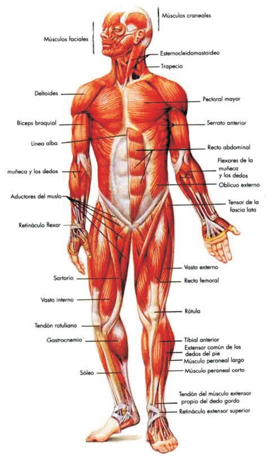 PROFE ANIBAL EDUCACION FISICA: MUSCULOS DEL CUERPO HUMANO