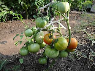 Куст помидора выросший в междурядье дал неплохой урожай