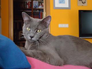 Gato azul ruso busca novia para monta en Madrid