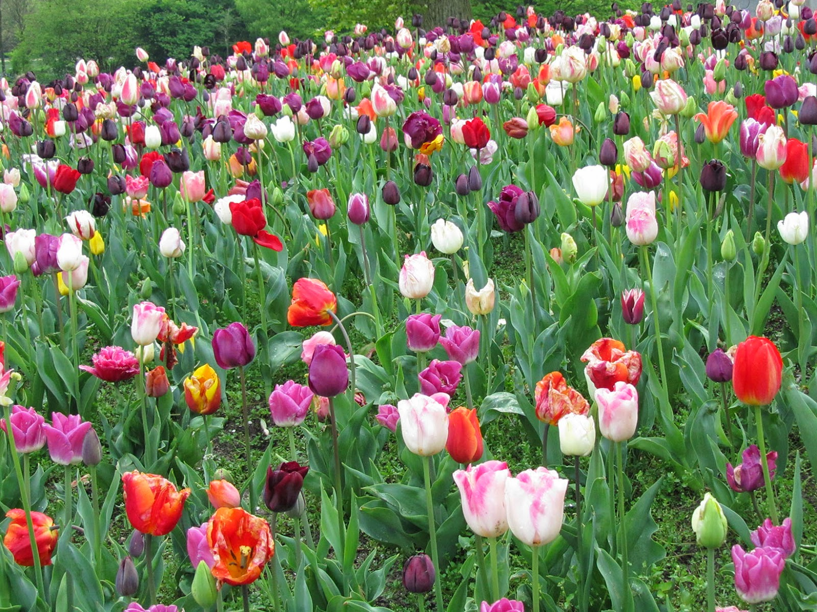 large bed of tulips
