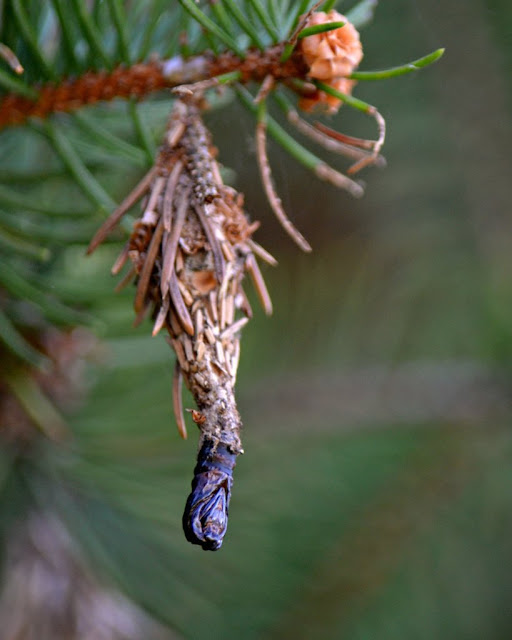 Evergreen Bagworm Moth case (Thyridopteryx ephemeraeformis)