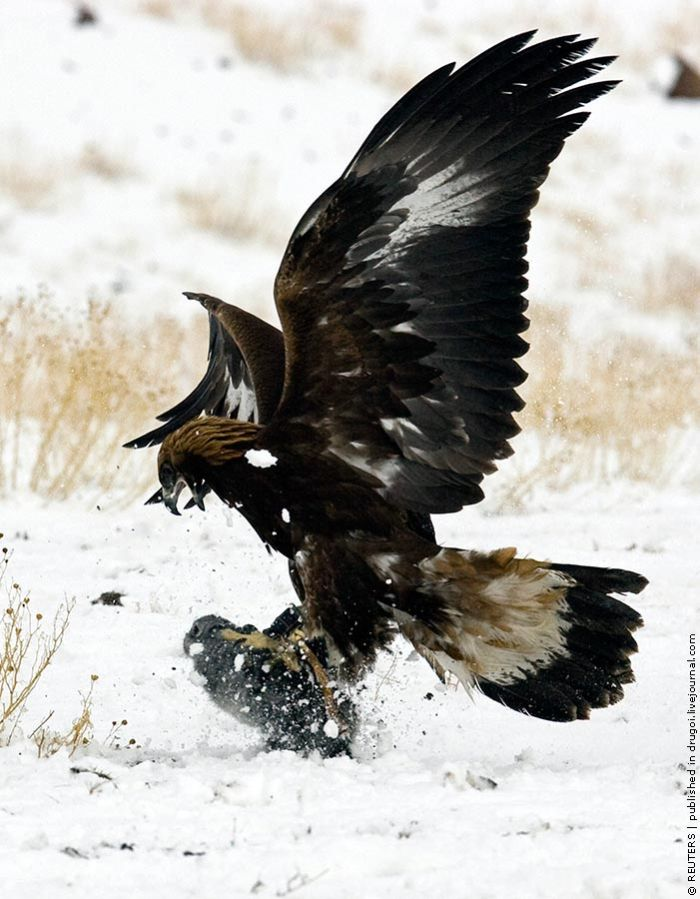 Golden Eagle Hunting in KazakhstanGolden Eagle Hunting Wallpaper