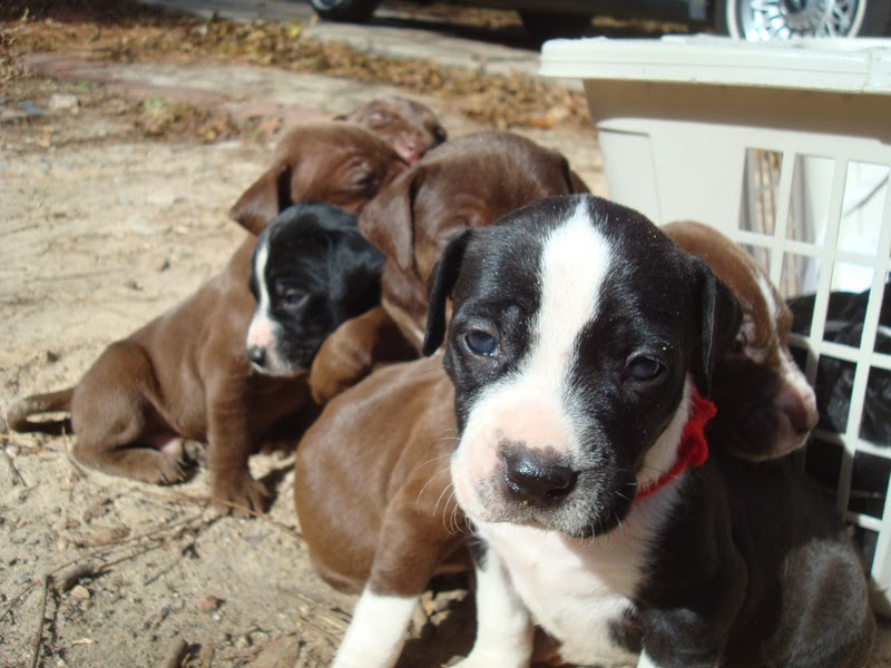 Raising Toot and Roxy: Listed our puppies on craigslist