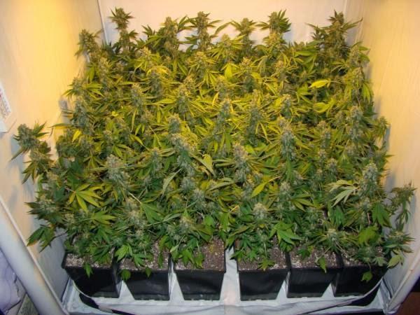 cultivo loco: técnica de cultivo: s.o.g. (mar verde) de marihuana
