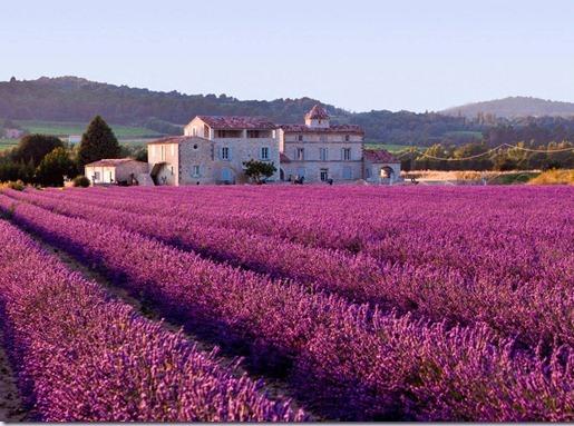 Campos floridos -  Provence - França