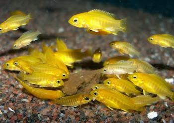 Satılık sarı prenses yavruları