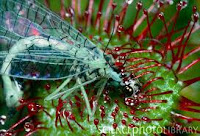 Drosera  eating fly