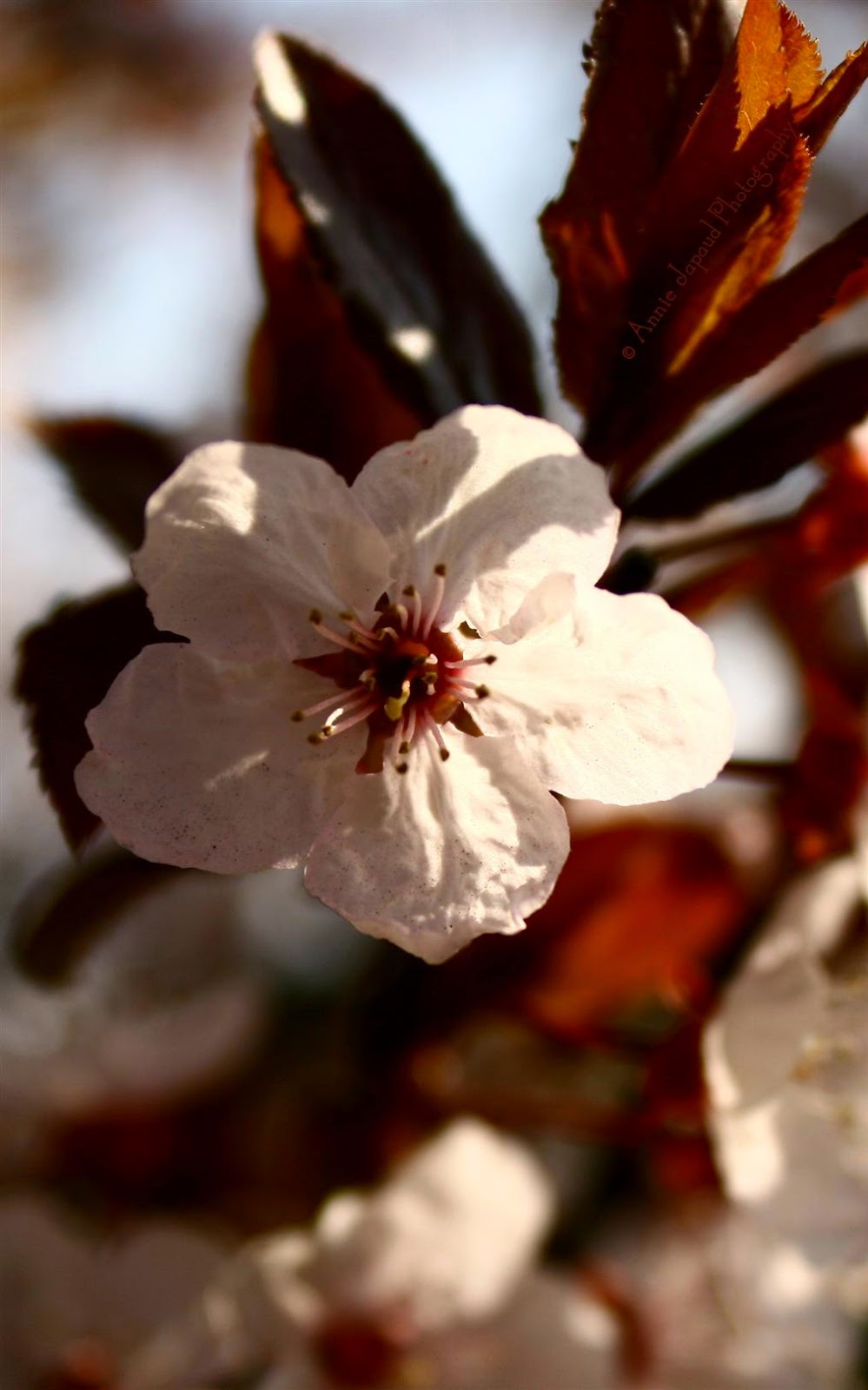 lovely image of a large white spring blossoms from up close