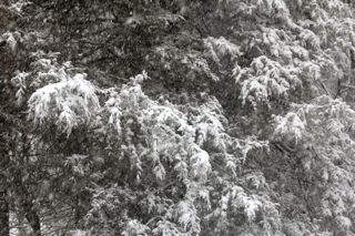 photo of snow falling on cedars