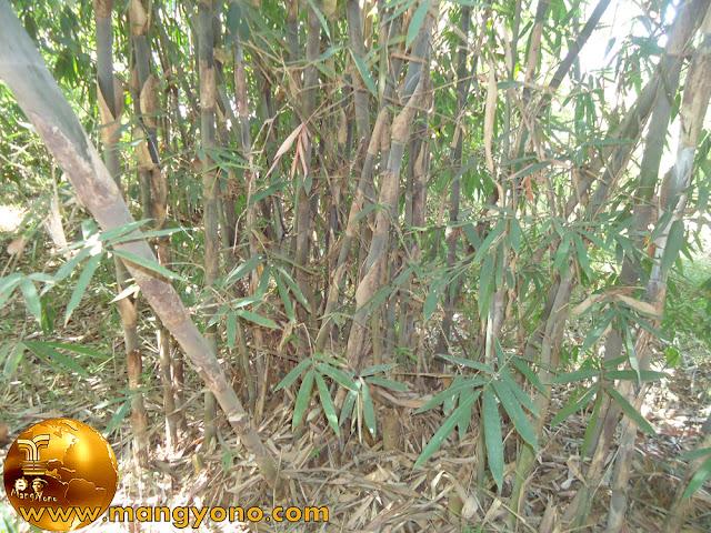 Bambu Tali di kebun mertua. Jepretan admin