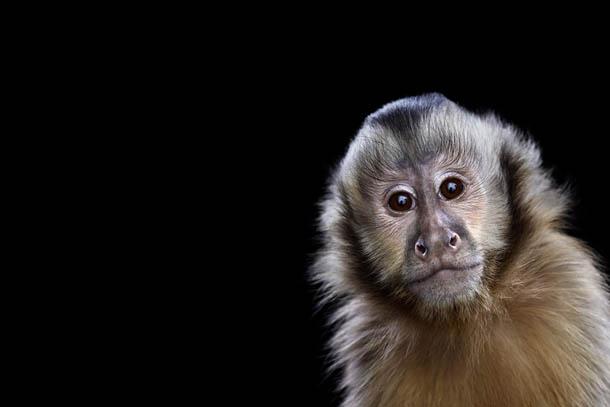 fotografia de animais selvagens- Brad Wilson - macaco