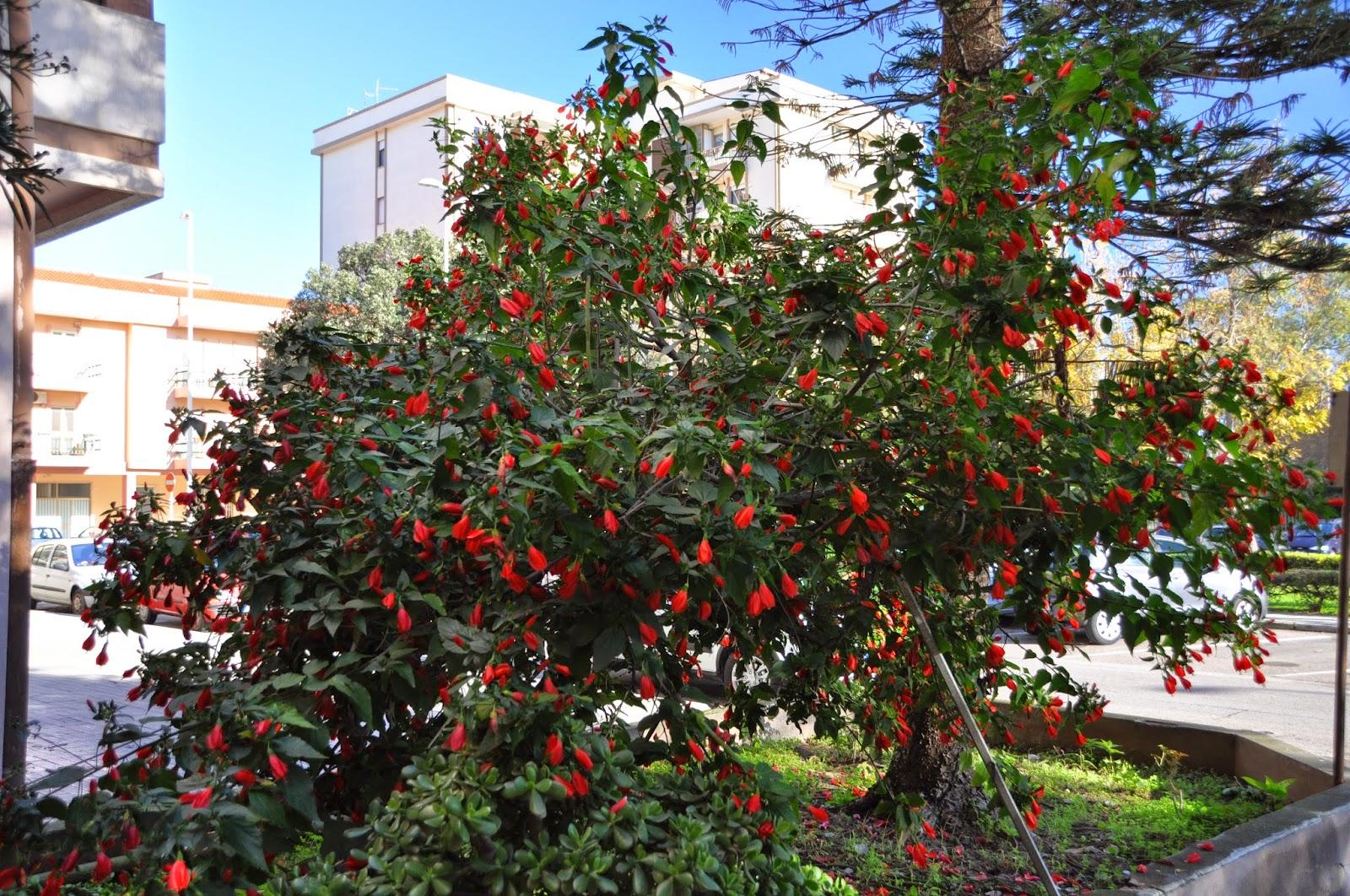 Cagliari in verde il vergognoso ibisco dormiente for Ibisco rosso