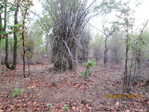 Bamboo & Sal forests of Khitauli zone of Bandhavgarh.