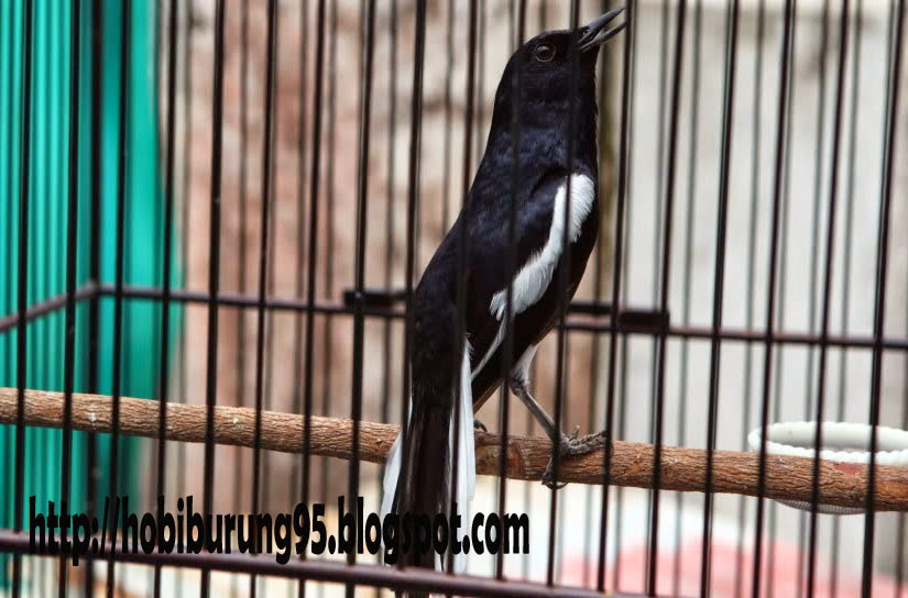 Perawatan Harian Burung Kacer