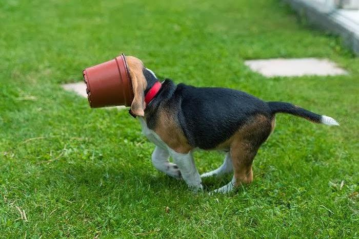 Beagle puppy vs flower pot 4 pics amazing creatures beagle puppy vs flower pot 4 pics voltagebd Image collections