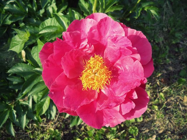 Bright pink Peony