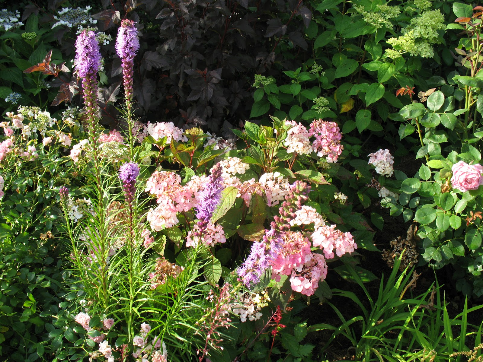 Roses du jardin ch neland liatris spicata for Association plantes jardin