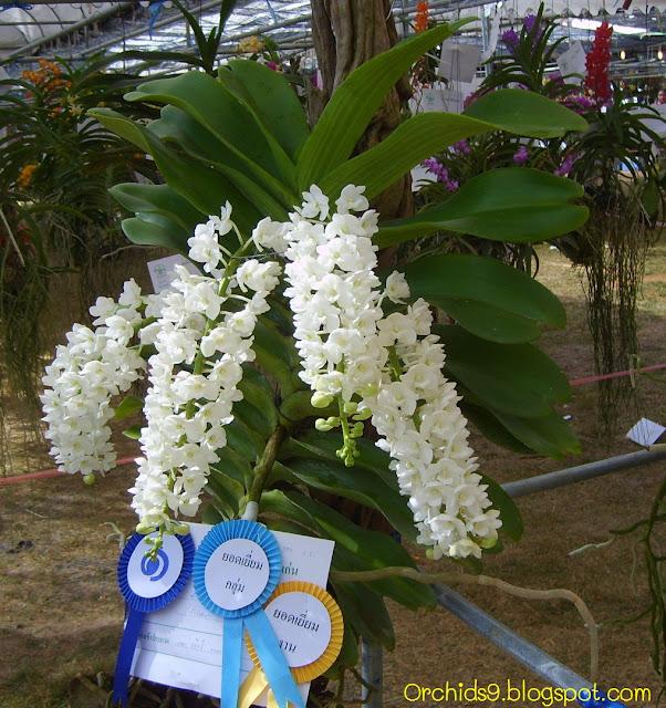 http://2.bp.blogspot.com/-4bTcTsCjLGQ/TmHLB5KUPqI/AAAAAAAAAws/DyruvwDkMgc/s1600/Rhynchostylis+gigantea+alba+Orchid+Flower+Picture+01.JPG