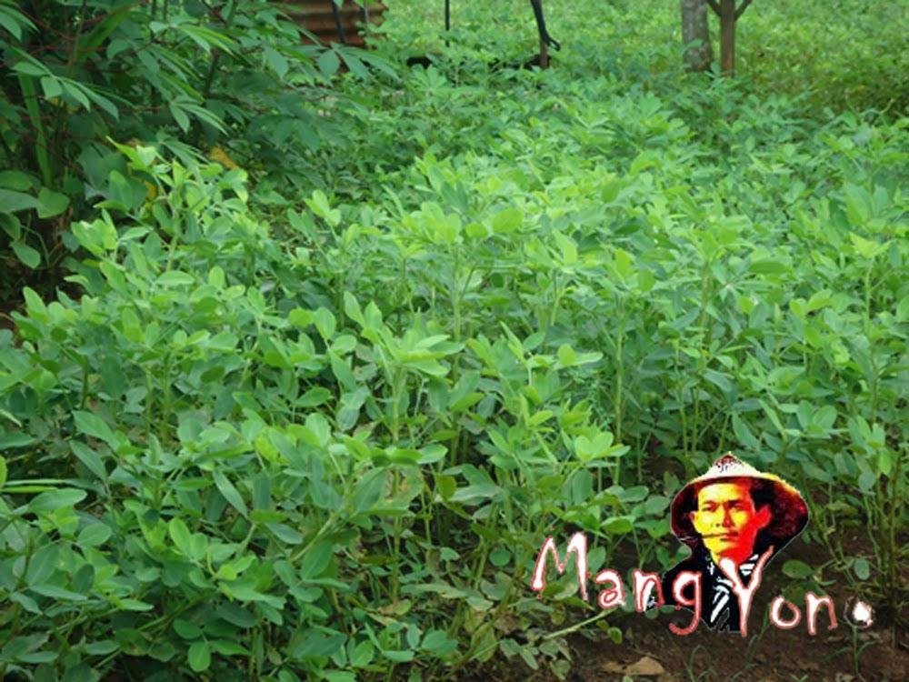 Cara Pemanenan, ciri – ciri Kacang tanah siap dipanen dan cara pengawetan kacang tanah