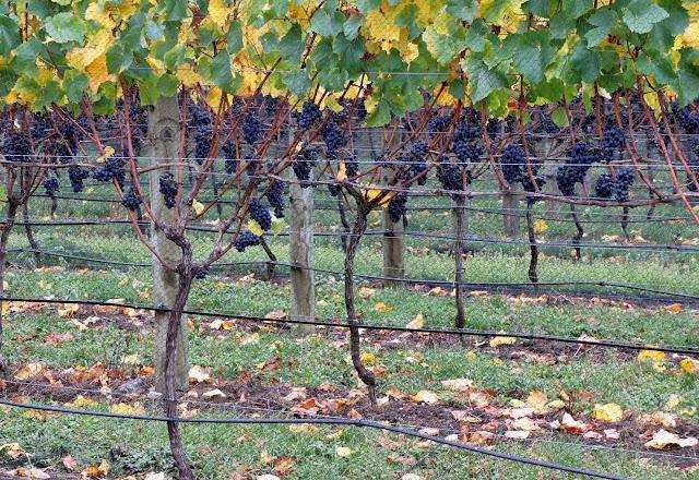 Grape wines - Martinborough