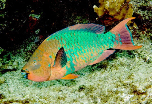 Most amazing rainbow parrot fish for Red fish blue fish key west