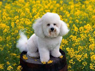 poodle pets dog hound canine pooch hundur animaux de compagnie Haustiere de companie husdjur domaci kucni ljubimci animals domestics maskotak puppy puppies breeds