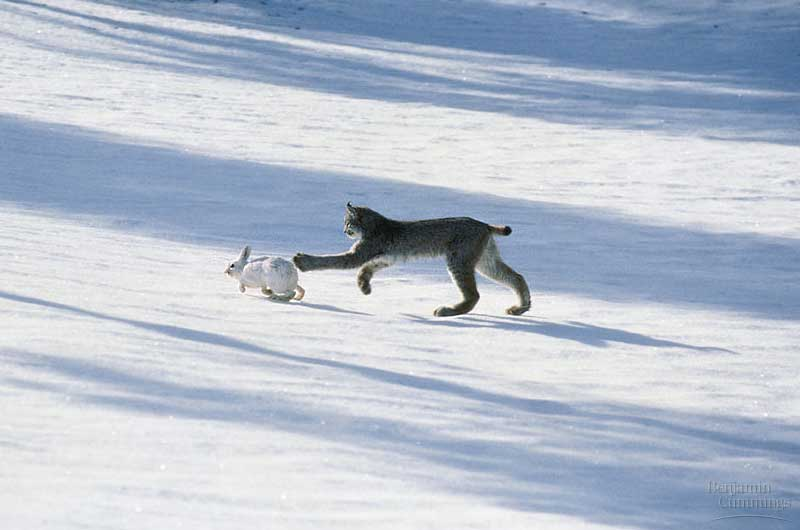 follow the piper snowshoe hares