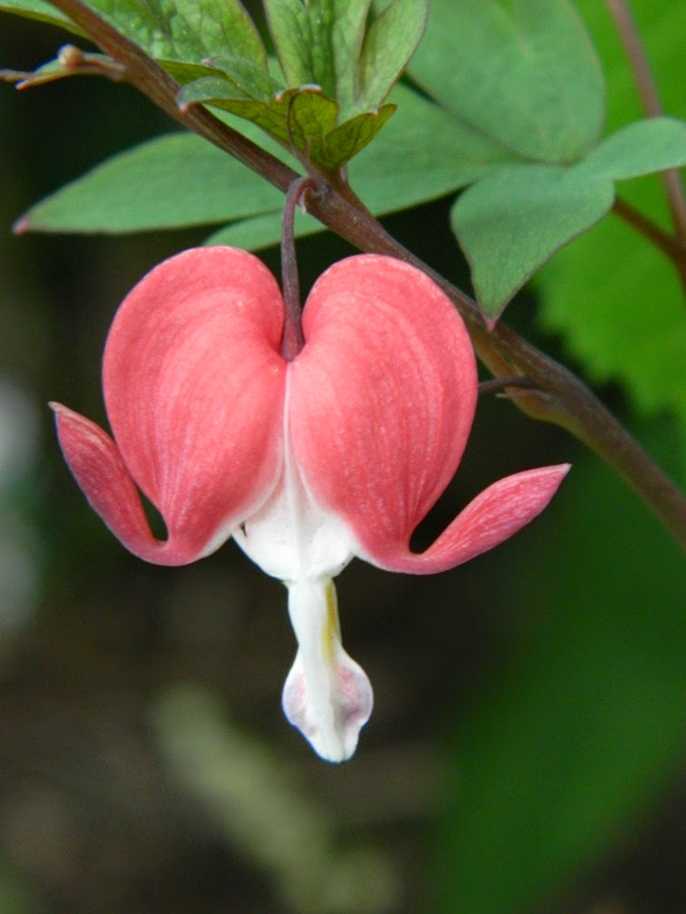 Bleeding heart Dicentra spectabilis Valentine by garden muses-not another Toronto gardening blog