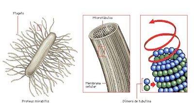 Estructura proteica de un microtúbulo