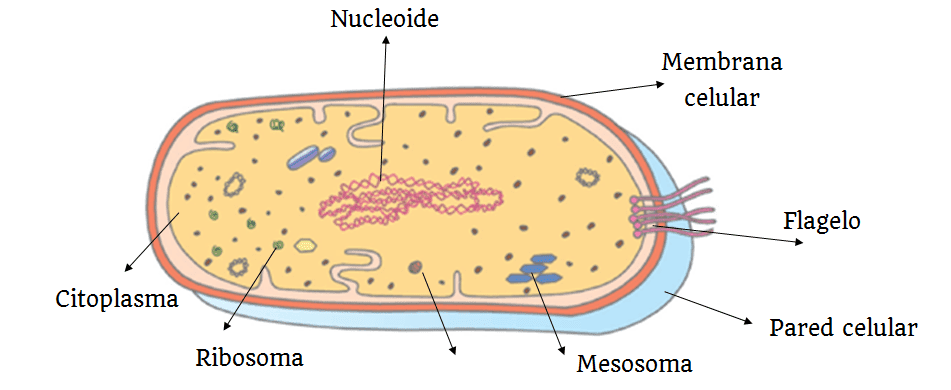 caracteristicas celulas procariontes
