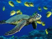 #1 Turtle Wallpaper