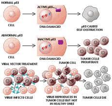 آلية عمل الجين p53 المثبط للسرطان