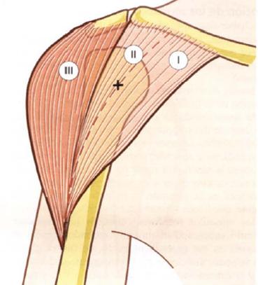 Fisiología Articular : Músculo Deltoides