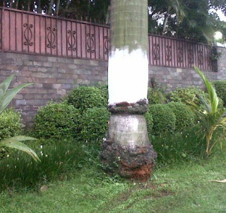 Pohon Palm yang ditabrak Ustad Jefri Al Bukhori