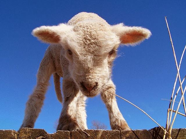"<img src=""http://2.bp.blogspot.com/-4eb2E9KFz8Y/UrAiwKbeuqI/AAAAAAAAF4I/YeChCo_RgdM/s1600/qqq.jpeg"" alt=""Sheep Animal wallpapers"" />"