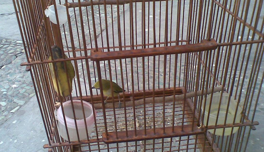 EF Extra Food Burung Pleci Gembala News