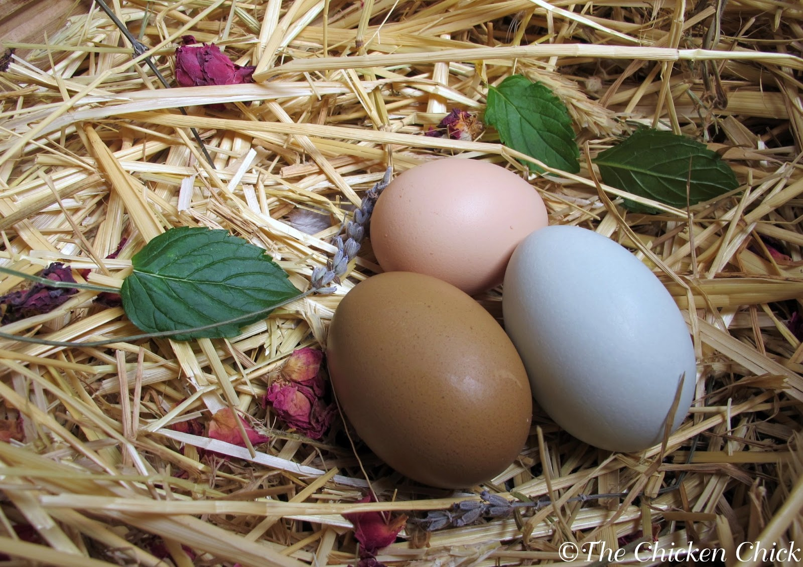 The Chicken Chick®: When Will a Hen Begin Laying Eggs? Watch for ...