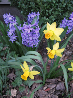 Hyacinths and daffodils in bloom