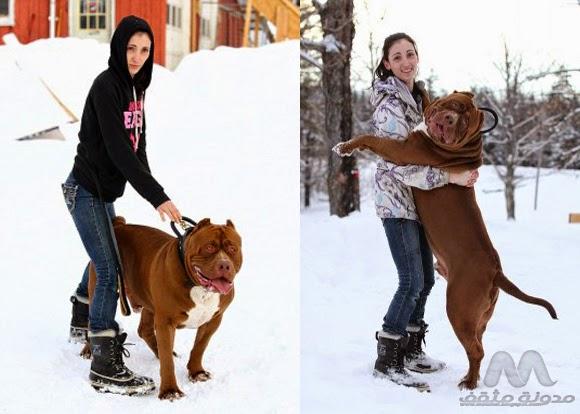 أكبر كلب 2015