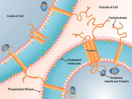 Cell membrane function in animal cell