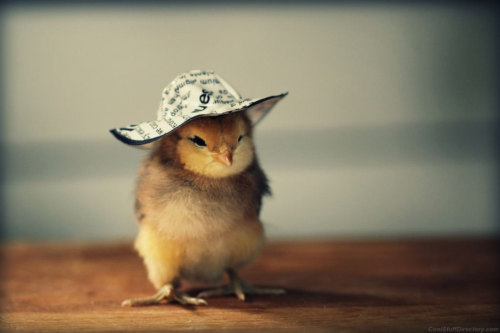 Foto Anak Ayam Yang Lucu