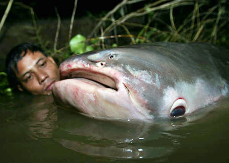 Most Amazing Almost Extinct Animals Mekong Giant Catfish