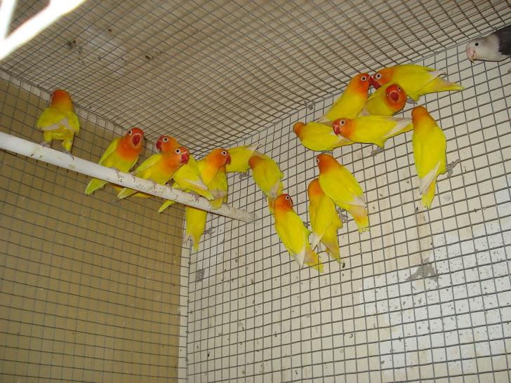 Fisheris , várias cores disponiveis (Aves com cites dos Pais)