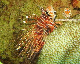 Lion Fish - Taman Laut Pasir Putih Situbondo