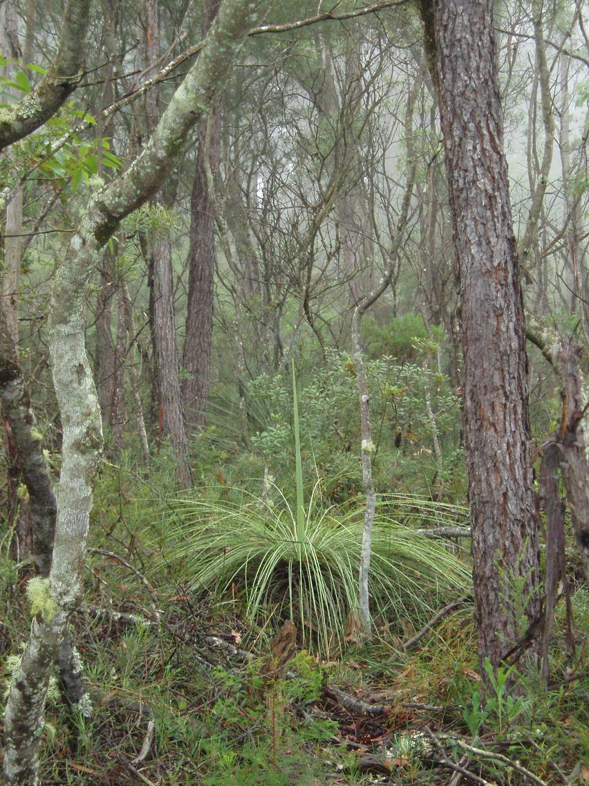 going native in the illawarra  try growing  grass trees