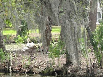 mute swans:  City Park, NOLA