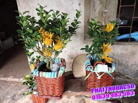 Phật thủ bonsai