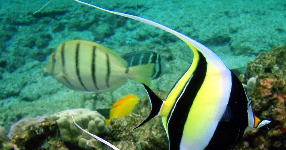 Peces y plantas ornamentales zanclus cornutus dolo moro for Acuariofilia peces ornamentales